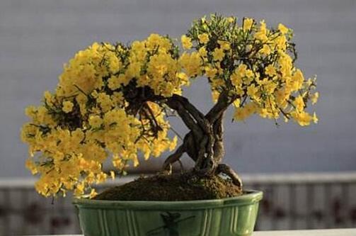 迎春花盆景怎样修剪,4个方法让迎春盆景风姿绰约