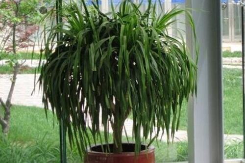 大盆龙血树多少钱一盆,每盆30~100元/越高越壮越值钱