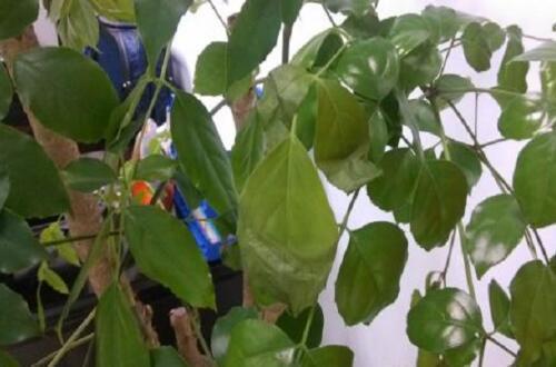绿宝叶子发蔫怎么回事,四个解决方法让叶子恢复正常