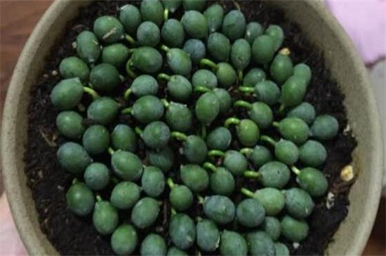 罗汉松种子怎么播种,做好五步成功种出罗汉松
