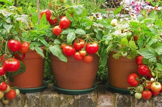 蕃茄开花后多久结果,正常养护15~30天可结果