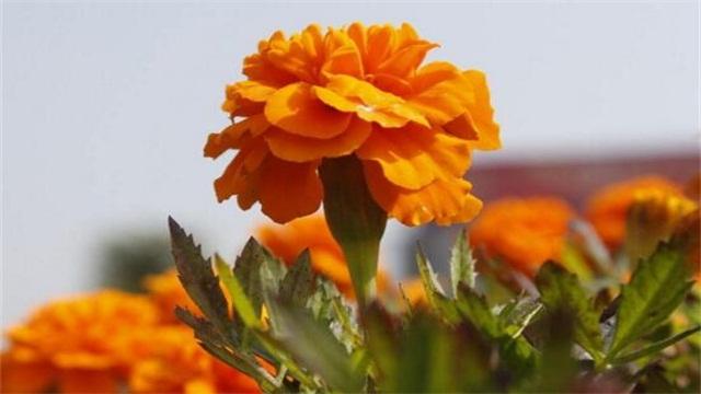 盆栽菊花的绿植屋养殖方法