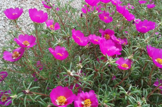太阳花爆盆的种植方法,掌握4个要点让太阳花疯长爆盆