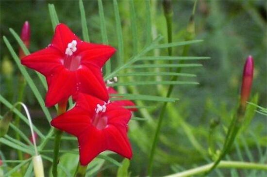 茑萝花种子播种时间,3~4月种植/可适当提前和延后
