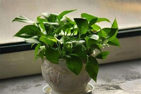 吸收甲醛的室内植物_十大吸甲醛的植物排名