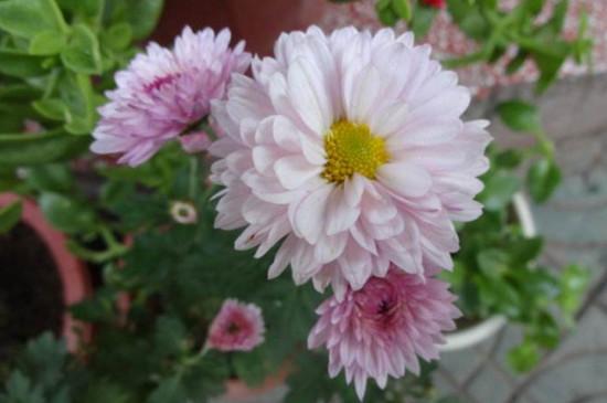 梨树为什么不开花_四季菊为什么不开花了,掌握四个要点让四季菊花开满盆