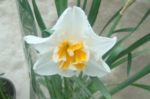 水仙花有哪些种类,盘点15种不同品种的水仙花