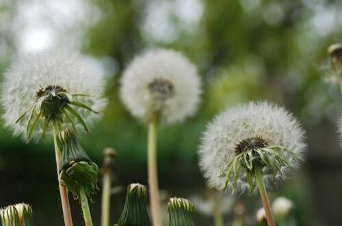 蒲公英种植新技术,4大步骤种植成活蒲公英植株
