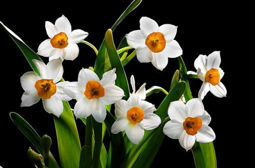 水仙花有什么用处,观赏清洁还能入药/有利住宅风水