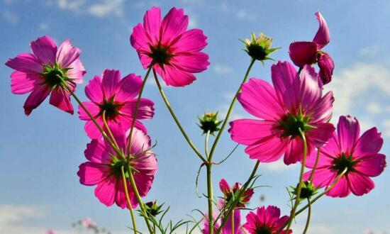 格桑花可以室内种植吗,室内环境不适合养殖格桑花