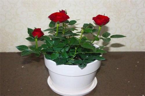玫瑰怎么施肥,不同生长时期合理施肥花开满盆