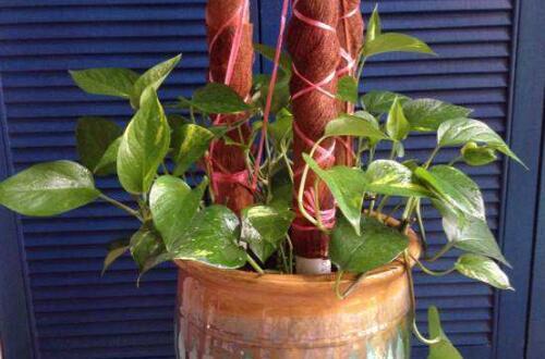 绿萝怎么盘好看步骤,制作棕柱让枝叶盘绕形成绿萝柱
