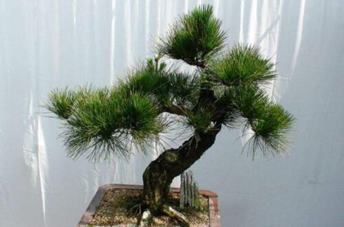 农村可以做盆景的树桩,4种树桩适合做盆景(附制作方法)