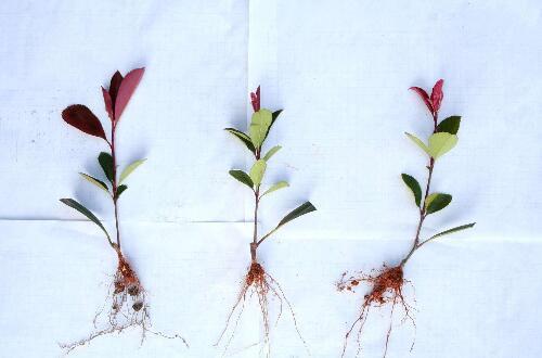 红叶石楠小苗如何培育,枝条扦插成小苗/生根后养护