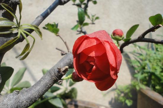 日本海棠叶子干枯发焉,四个方法让叶片恢复鲜绿