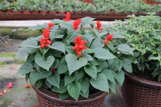 盆栽一串红怎么养,4个要点可让盆栽出现爆盆现象