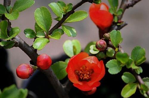 木本海棠花的繁殖方法,播种扦插/养护技巧与病虫防治