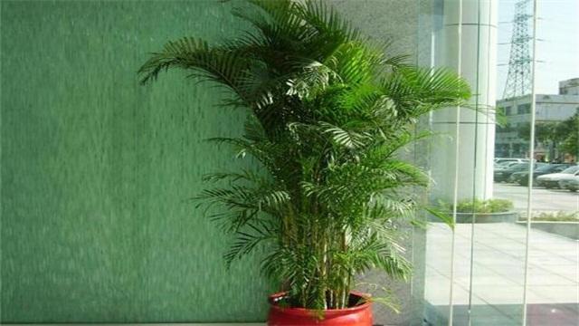 室内凤尾竹的养殖方法