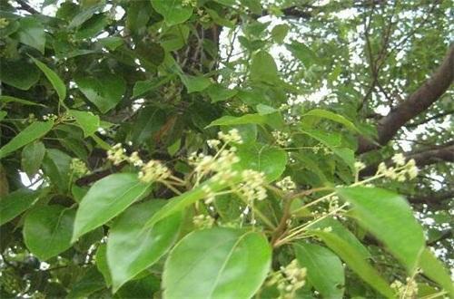 樟树煮水有什么作用,杀菌消炎/提神止痛还可解毒