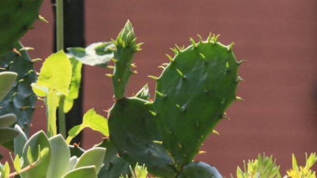 仙人掌施肥用什么肥料