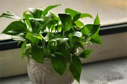 室内适合养的18种植物