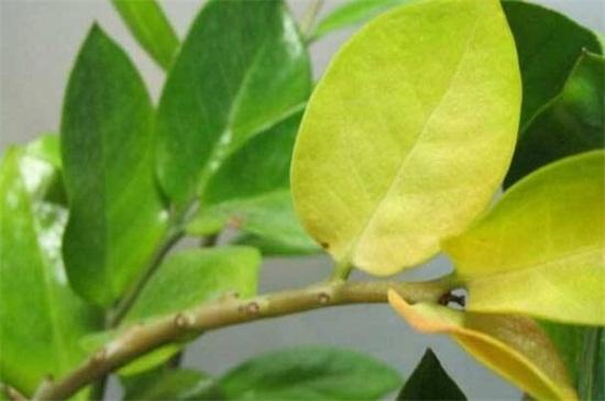 叶子发黄缺什么肥
