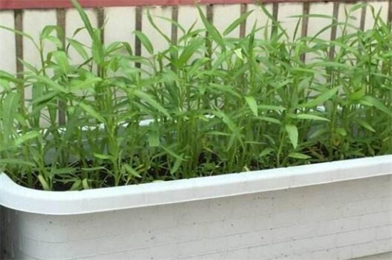空心菜品种哪种好,竹叶空心菜产量高口质脆味浓