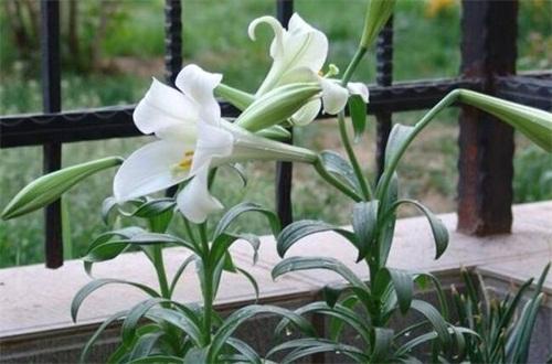 香水百合花谢了怎么办,减少浇水/修枝管理促进植株生长