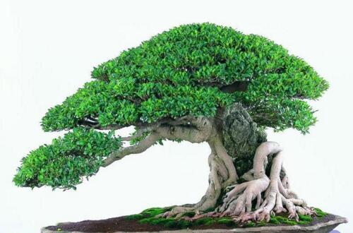 榕树怎么养根才膨大,详解靠接/半折枝/金属丝绑扎膨根法