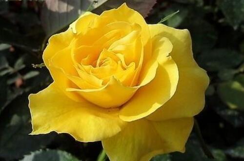 送闺蜜多少朵花比较好,送闺蜜什么花合适(18朵/13朵)