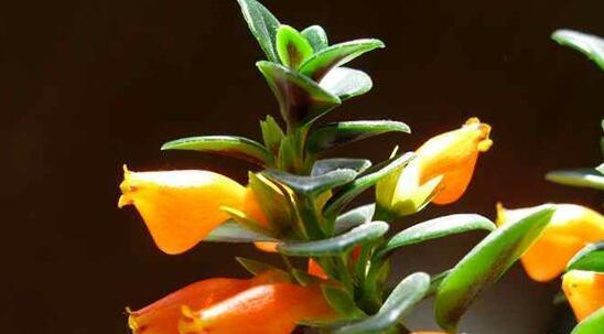 金鱼吊兰几月份开花,花期在三月到五月