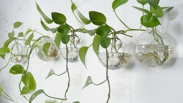 绿萝怎么移植水培