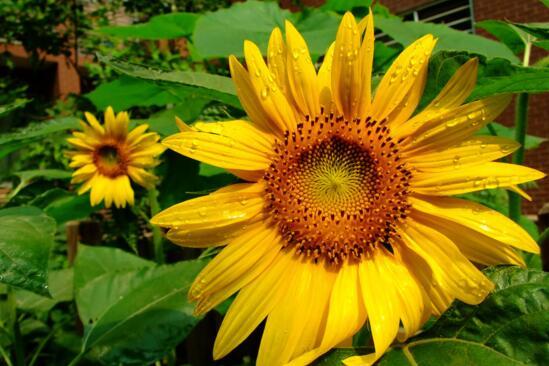向日葵是哪国国花,俄罗斯/秘鲁/玻利维亚三国共花
