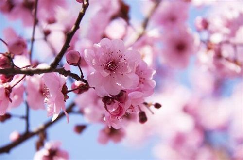 桃花是什么季节开的,春季时节3~4月开
