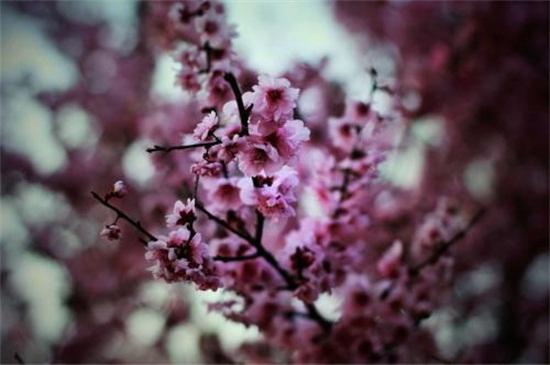 桃花是夏天开的吗 ,桃花的花期为3~4月/6~9月结果