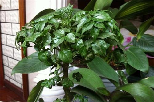 平安树怎么养才长的好,掌握六个要点即可养殖