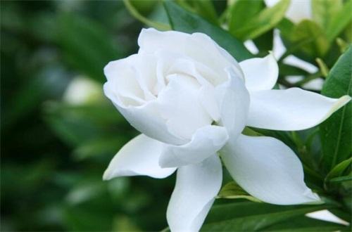 栀子花花期后怎么养护,及时修剪/换盆处理促使二次开花