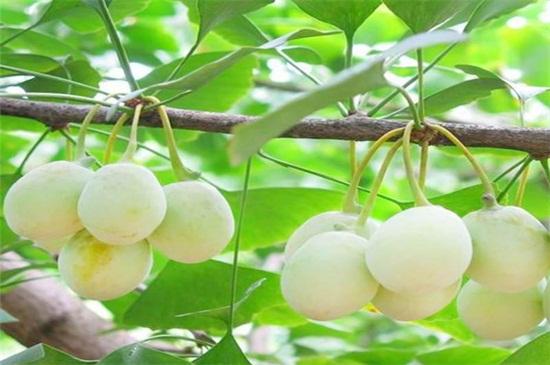 白果和开心果的图片区别_银杏果是开心果吗,开心果和白果的区别