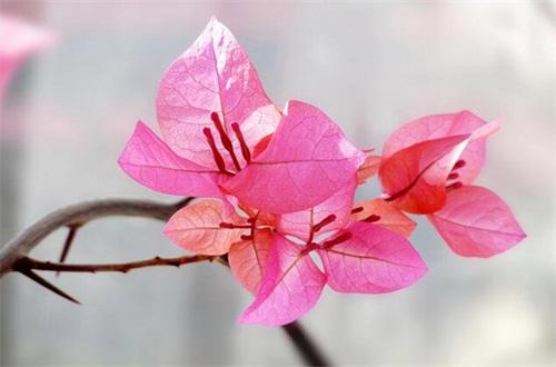 三角梅不开花光长叶子是什么原因,详解五个原因及处理方法