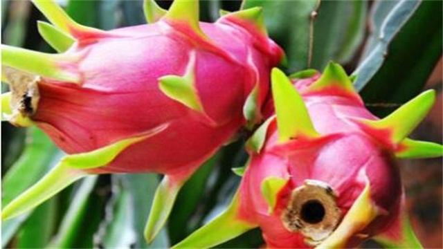 火龙果成熟的季节