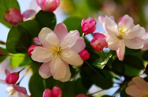 海棠花品种大全大图,盘点十种最漂亮的海棠品种