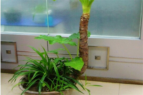 海芋适合室内养吗,适合/增加空气湿度还可以净化空气