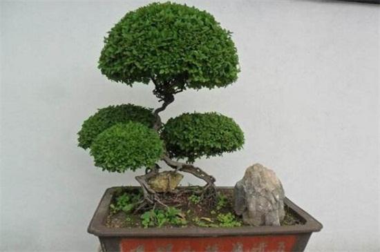 盆栽树种类有哪些,松柏类/藤本类/杂木类/花果类
