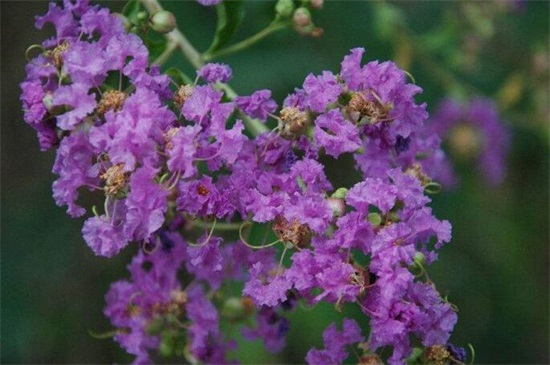 哪一种开淡紫色小花的植物好看,最好看