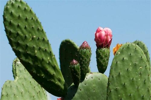 仙人掌花是哪个国家的国花
