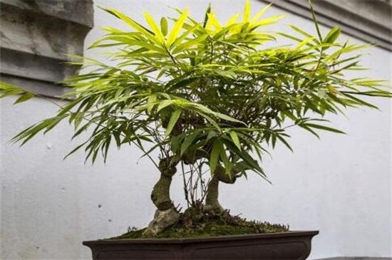 竹子什么时候移栽易成活,三月份前后或者秋季/(附移栽方法)