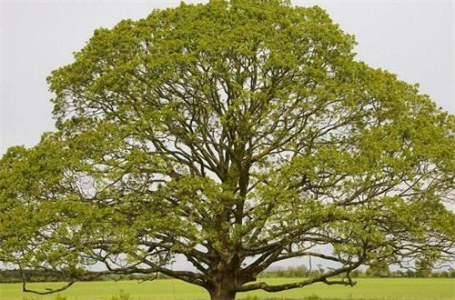 菩提树的寓意是什么,知识/断绝烦恼而成就的智慧