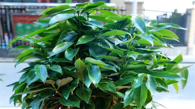 平安树的叶子怎么养绿