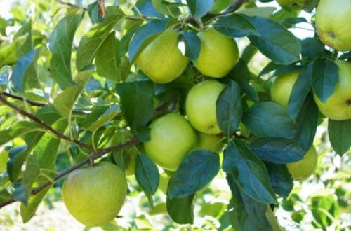 青苹果哪里产的好吃,4大产地果硕甘甜