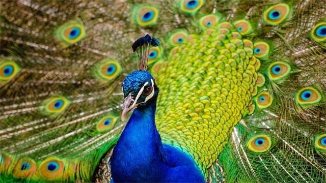 孔雀的寓意及象征